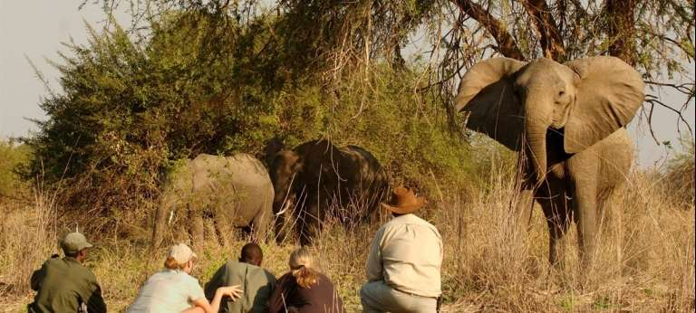 guests with elephant and guides on walking safari in south luangwa zambia africa