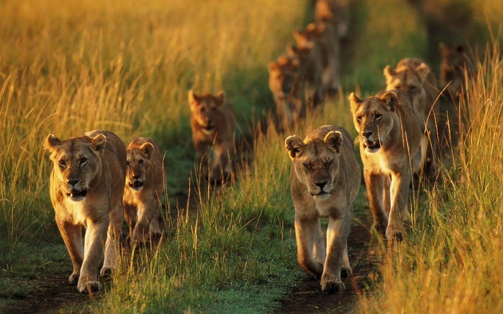 African Safari Experts lions in road botswana africa