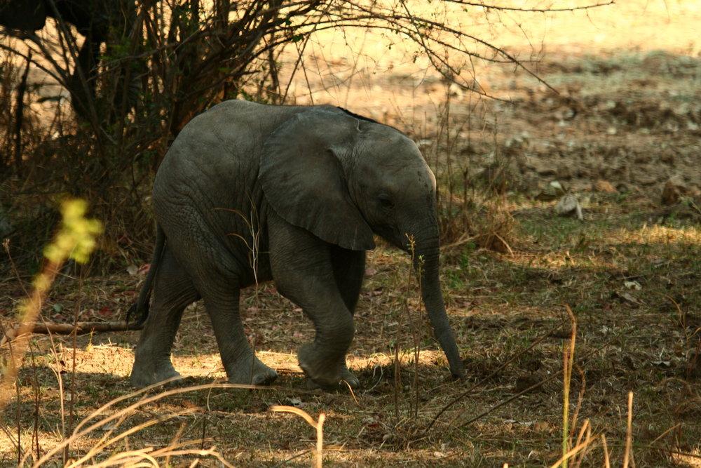 african safari experts elephant calf