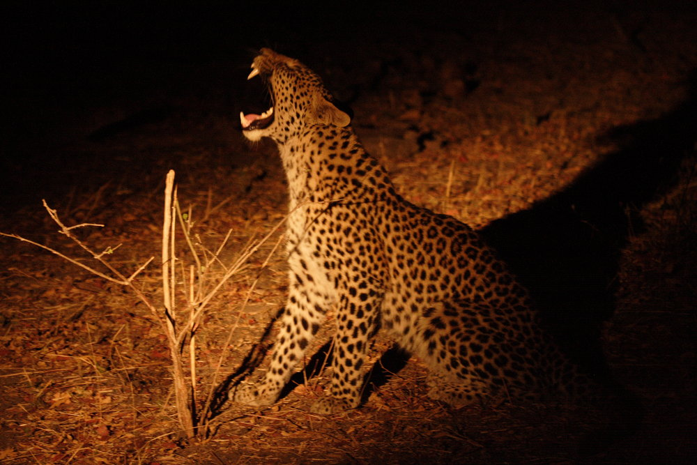 african safari experts leopard yawning