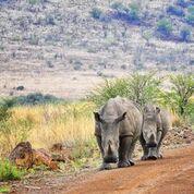 african safari experts rhino walking in the road l pilanesberg national park south africa