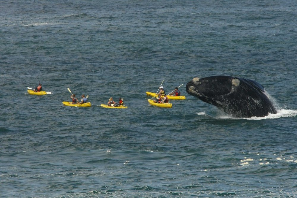 Sea kayaking with whales