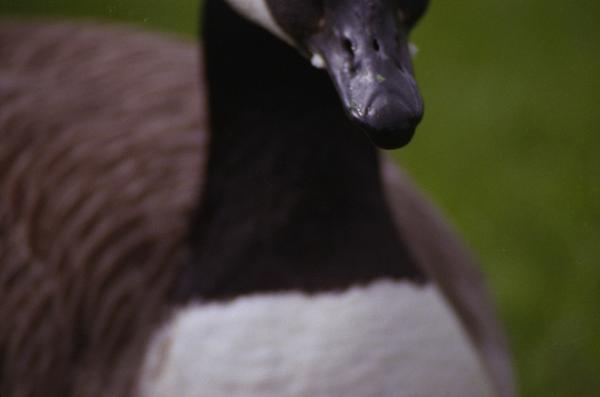 Duck, 2012
