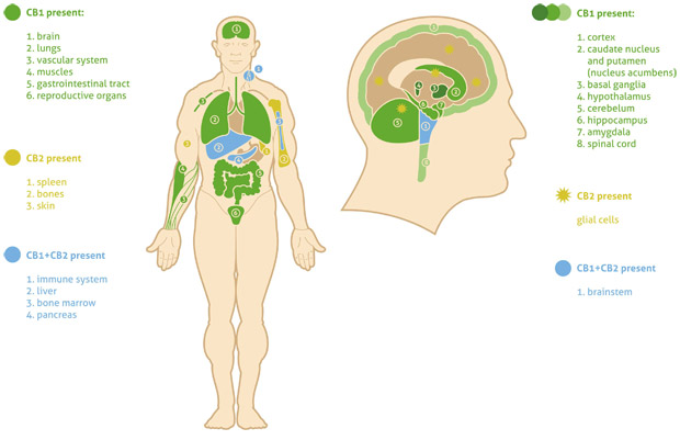 articles-endocannabinoid-system_text_2.jpg