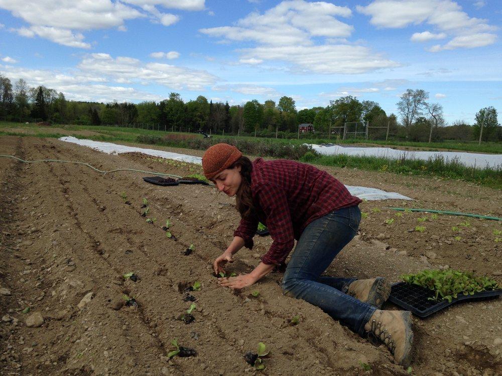 MaryKate transplanting lettuce.