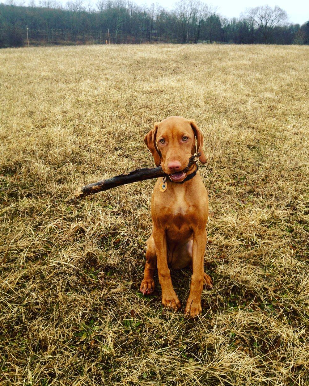 Farm Pup Penelope enjoying a stick.