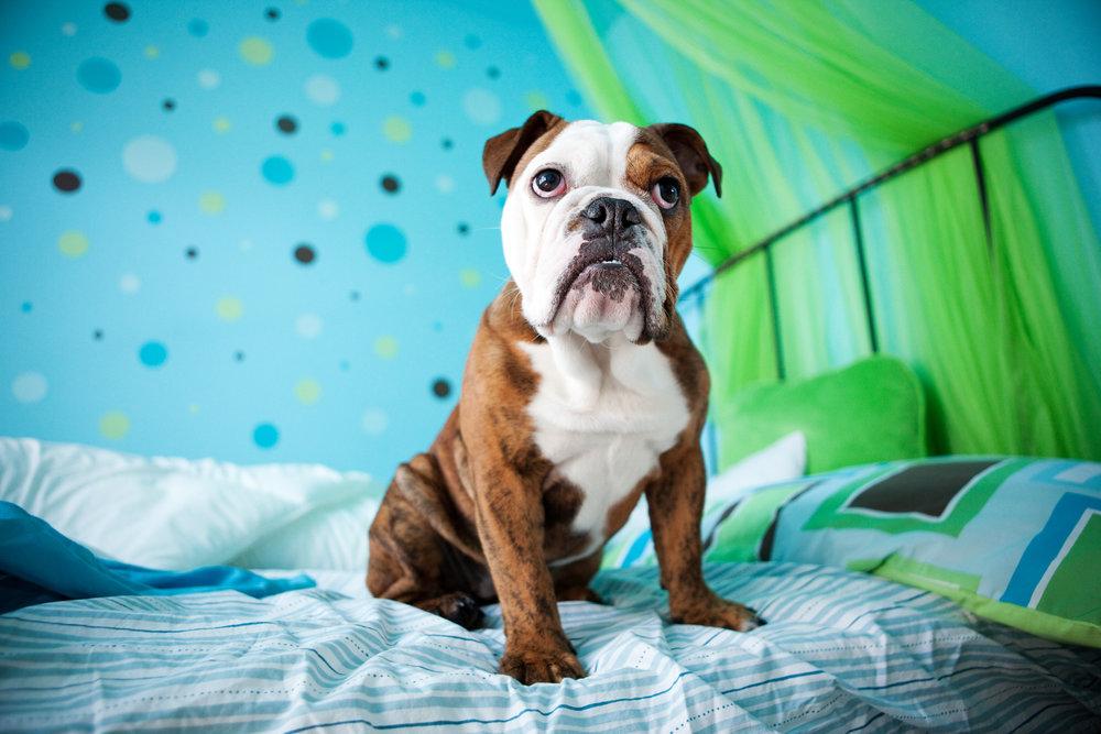 0002_Bulldog.jpg