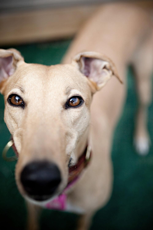 0004_Greyhound.jpg