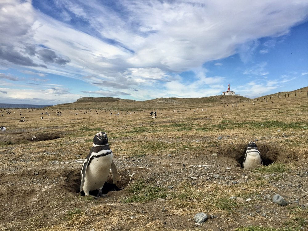 Magellan penguin colony on the Magdalena Islands. (Patagonia).