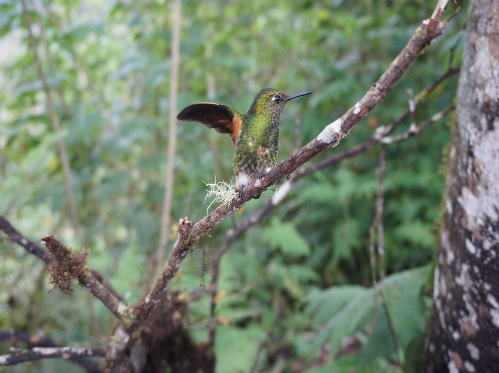 Hummingbird in the cloud forest. (Bellavista Reserve, Ecuador).
