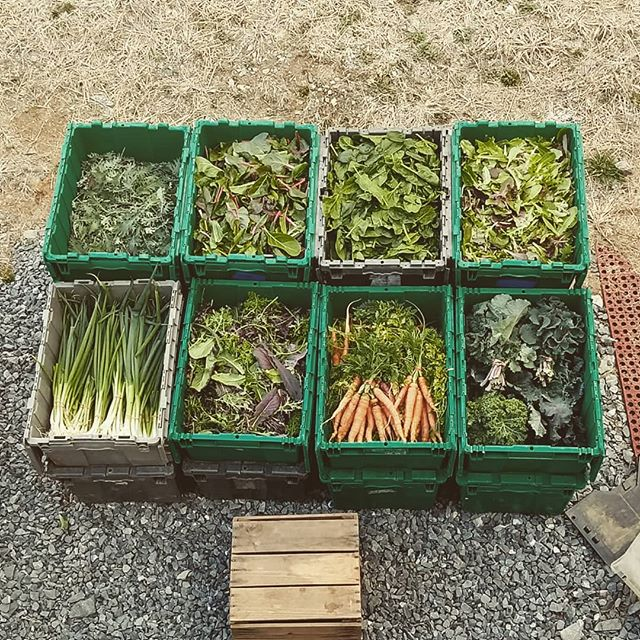 Everyone needs greens for #stpatricksday !  Stop by our farmstand tomorrow 9-12 for our final winter sales day!  We've got kale, spinach, lettuce, arugula, baby chard, spicy mix, carrots, scallions, and of course meat and eggs.  #eatlocal #certifiedorganic #middletownmd #thatwasalongday