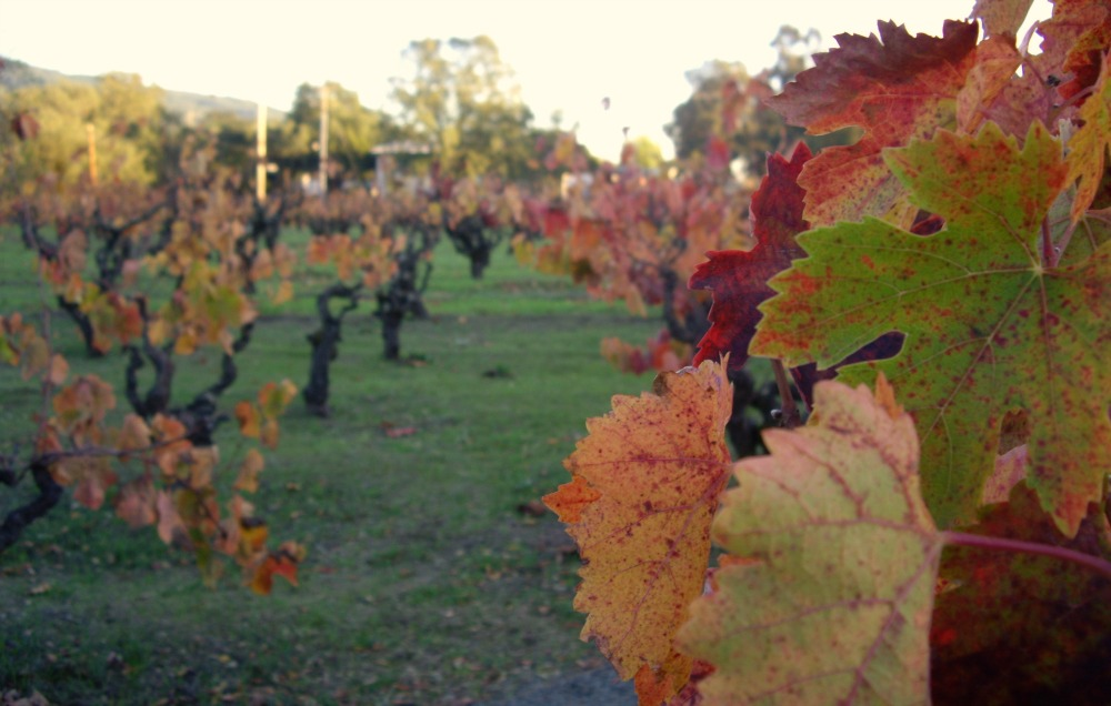 fall-leaves-wine-country