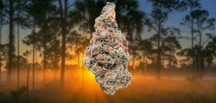 florida-marijuana-702x336.jpg