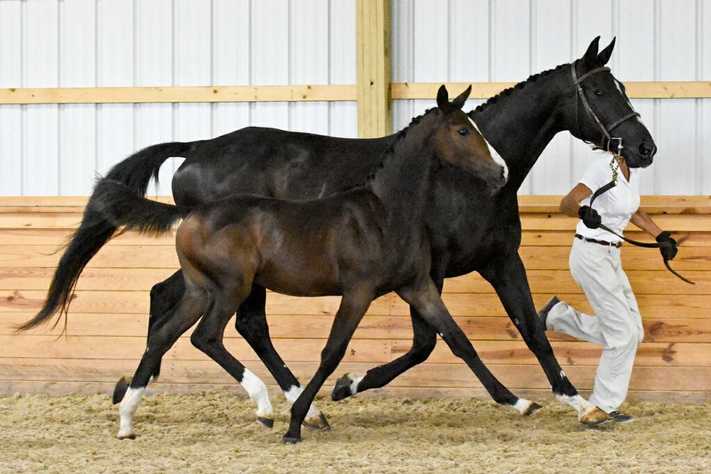 """Congratulations!!! Marissa Rose Emellar Stables, MO - 2017 born filly, """"Calligraphy"""" by Coronado out of Noble Sonadora HU. Calligraphy was Premium Foal at Inspection, August 2018"""