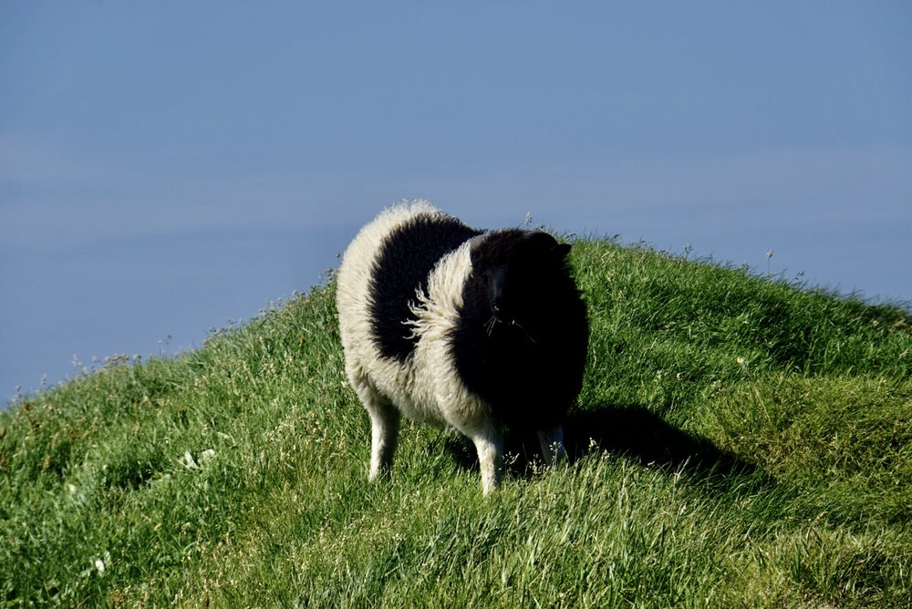 Just like everywhere in the Faroes, sheep rule the world.