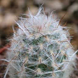 Costa-Farms-Cactus-Oreocereus-trollii.jpg
