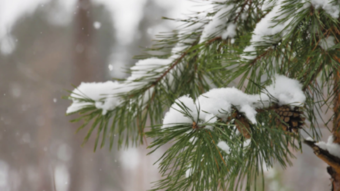 Pine branch with pinecones in snow.