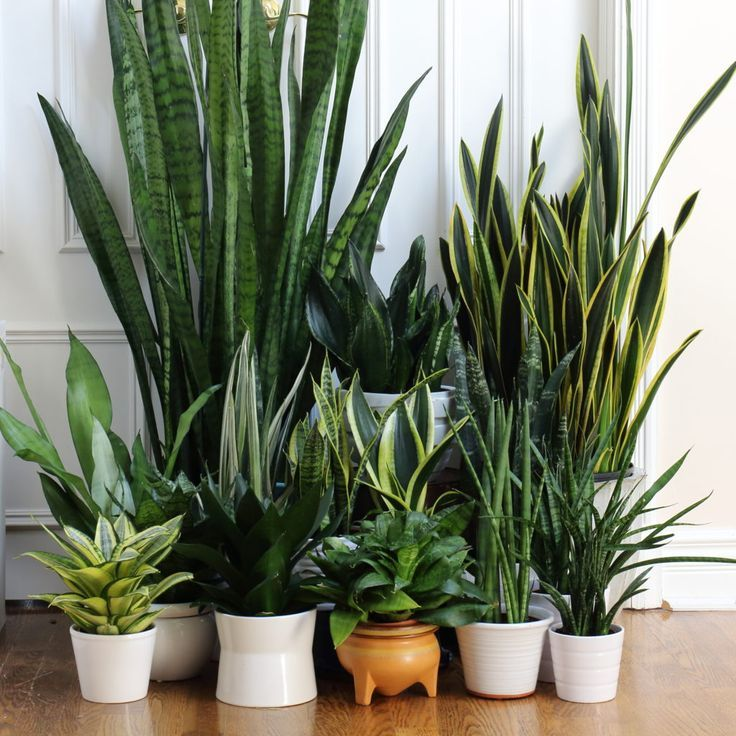 Different types of Snakeplants on shelf