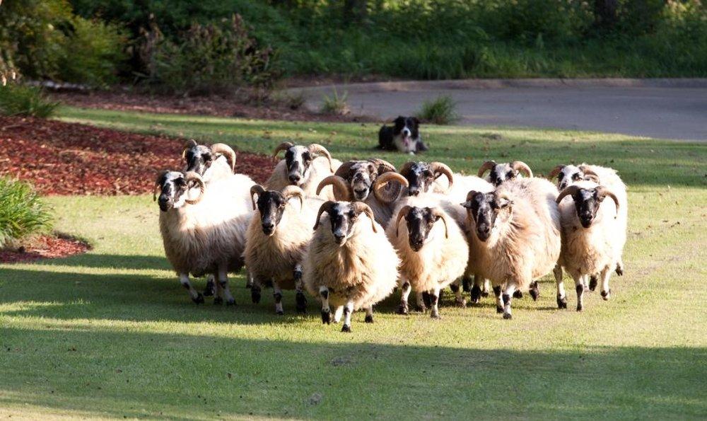 Sheep_3[2].jpg