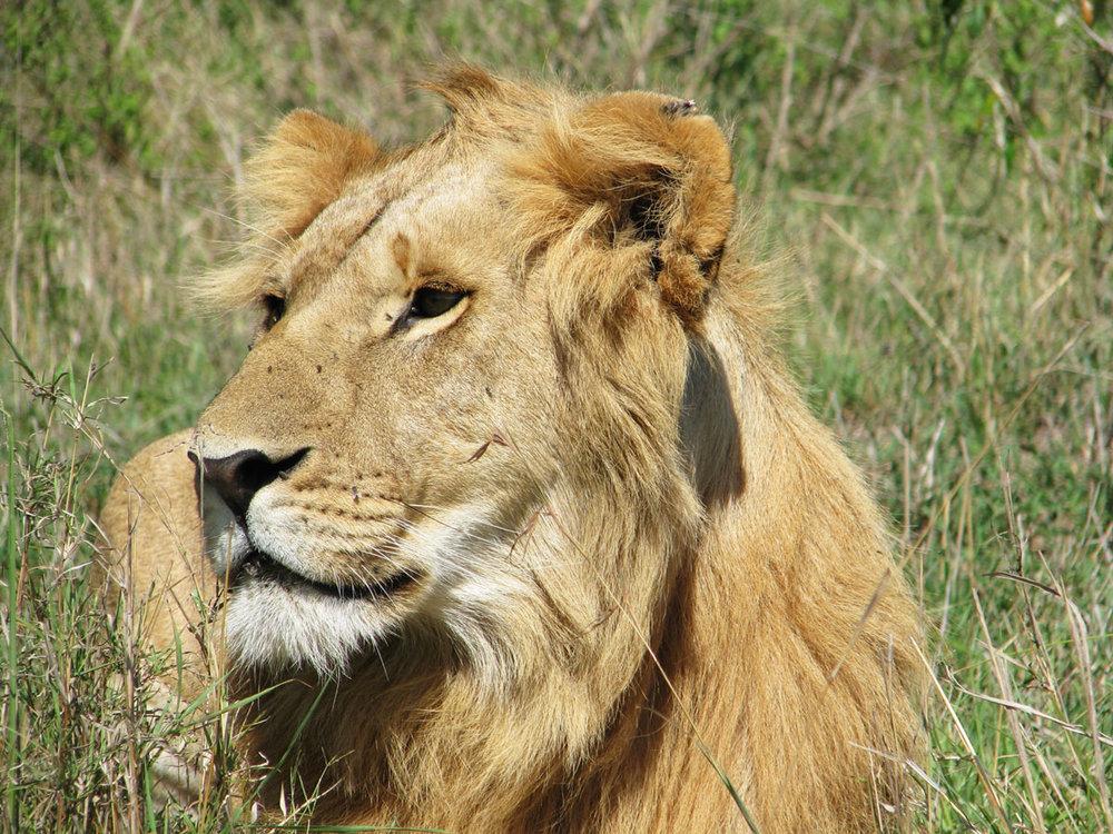 ケニア国立公園・国立保護区王道7日間 - 全行程サファリカーでの陸路移動です。アンボセリ国立公園、ナクル湖国立公園、ナイバシャ湖、マサイマラ国立保護区。ケニアを代表する3大国立公園・国立保護区を7日間で駆け抜けるツアー。