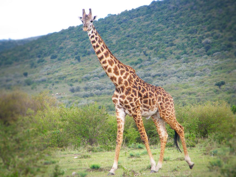 空路でらくらく・マサイマラ4日間 - 移動に軽飛行機を利用したマサイマラ国立保護区へ向かうツアー。マサイマラはケニアを代表する国立保護区で見渡す限りの美しい大草原にたくさんの野生動物が生息しています。片道45分のフライトで移動するので時間を有効に使える欲張りツアー。