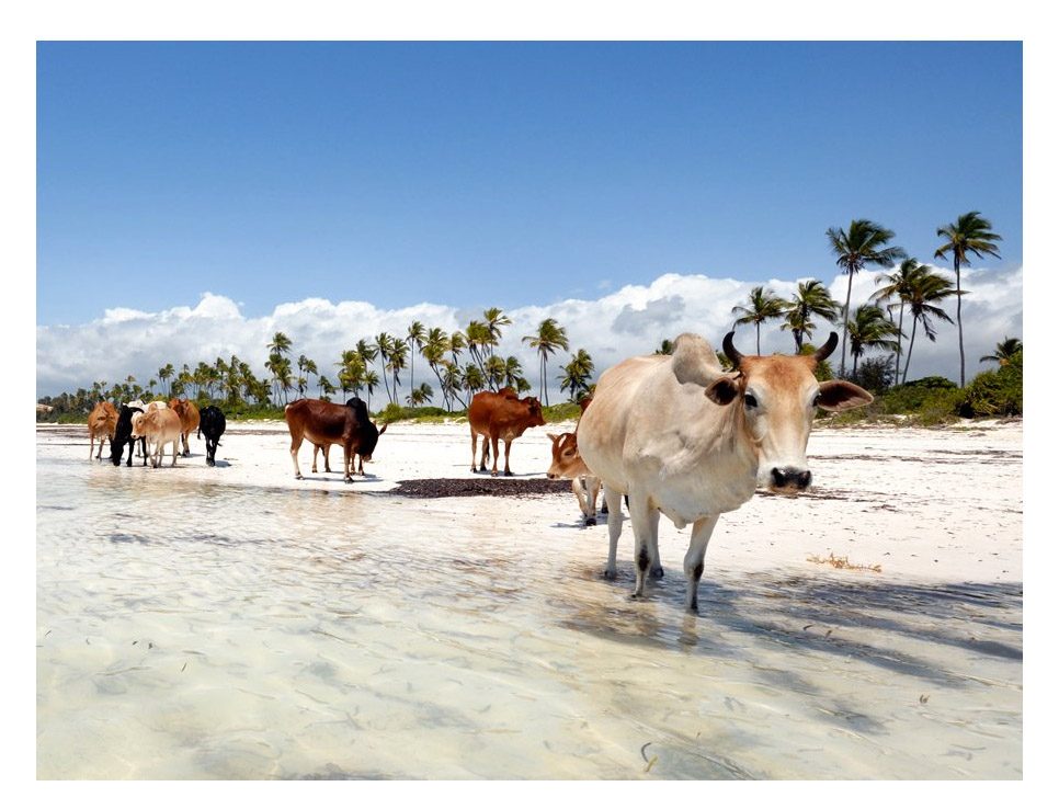 cow on beach.jpg