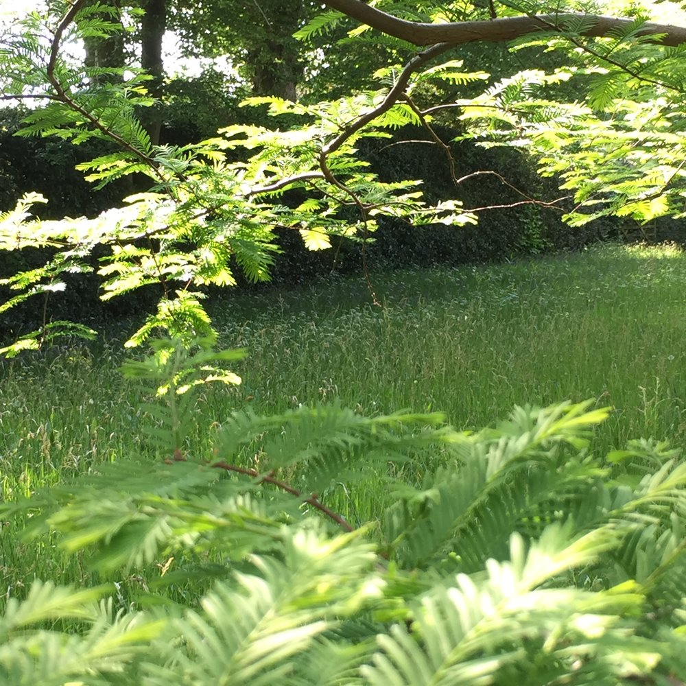 Meadow viewed through the leaves of the most beautifully-named tree in the world - metasequoia glyptostroboides!