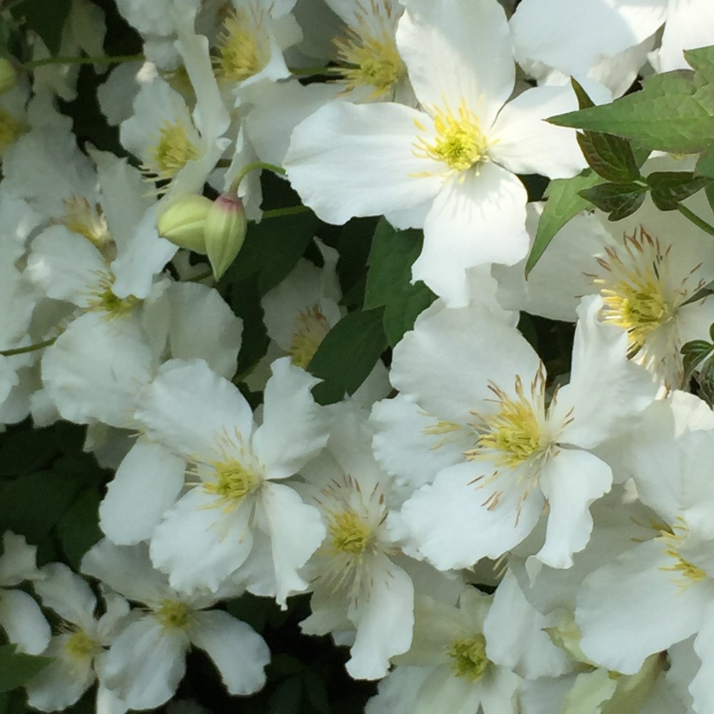 Clematis montaña alba on our hedge here at Chateau Snaps...
