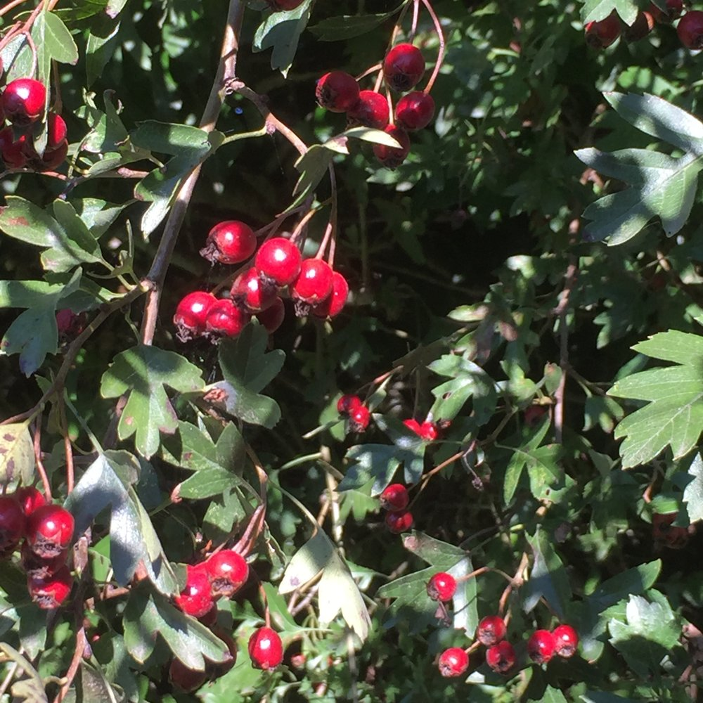 Haws - the hawthorn's been prolific this year!