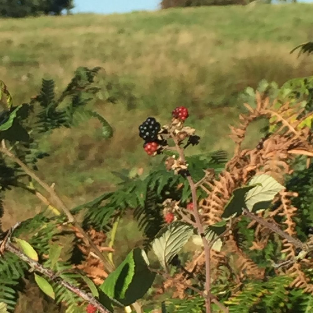 Blackberries - who's for crumble?