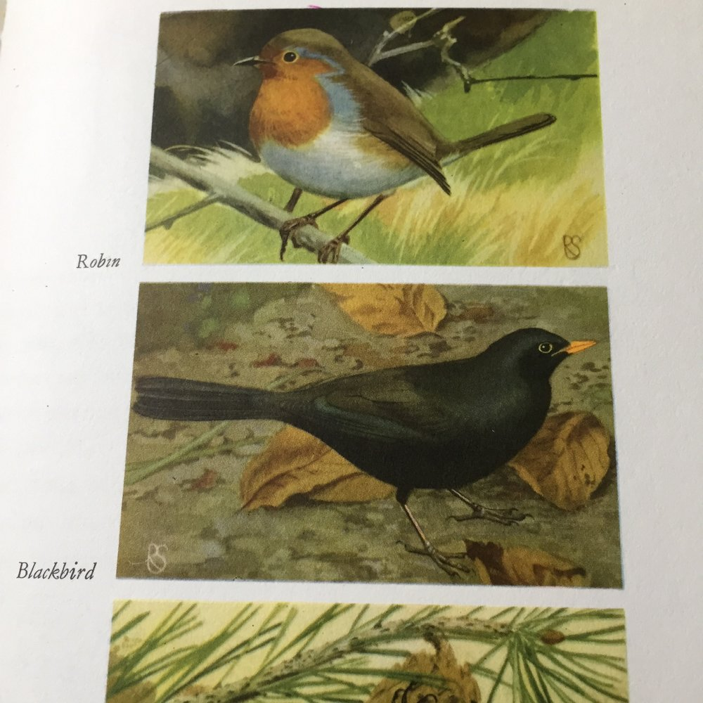 The illustrations are gorgeous! I'm particularly fond of blackbirds thanks to a tame one in our garden.