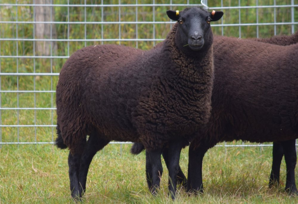 - Black Welsh Mountain Sheep are a small dual-purpose breed that provides excellent mild, sweet mutton and a completely black, dense, durable fleece. BWMS are small and easy to handle and are ideal for farms where their hardiness, good mothering and feed efficiency are significant assets.  The breed produces premium quality meat with a minimum of wasteful fat. It is richly colored and full flavored but remains mild even when butchered as mutton.For more information see the American Black Welsh Mountain Association