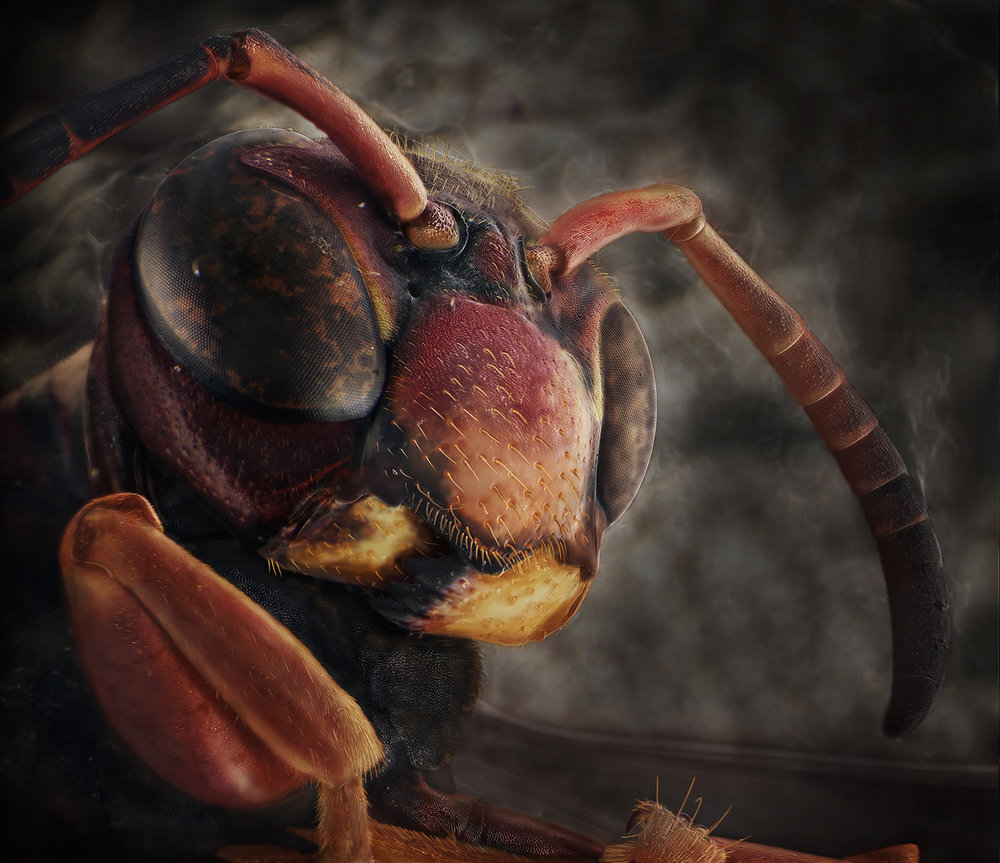 Black Brown Paper Wasp.jpg