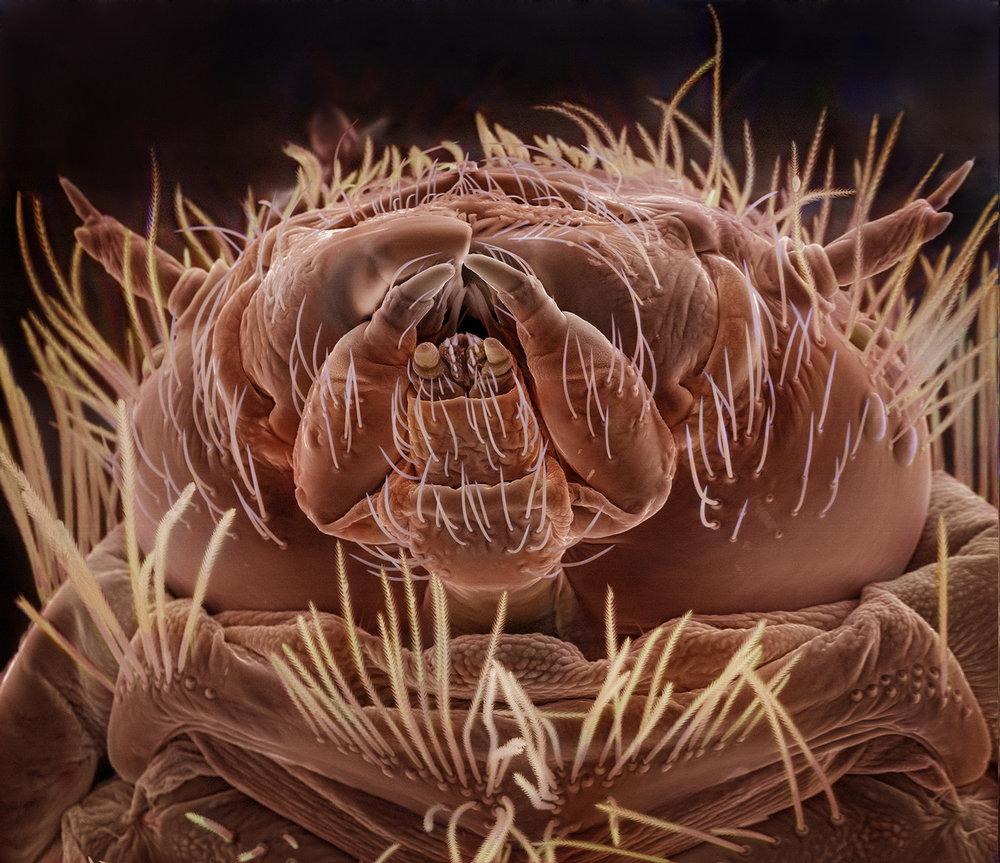 Dermestid Larva.jpg