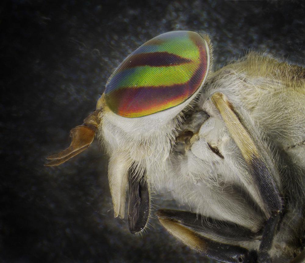 Horse Fly.jpg