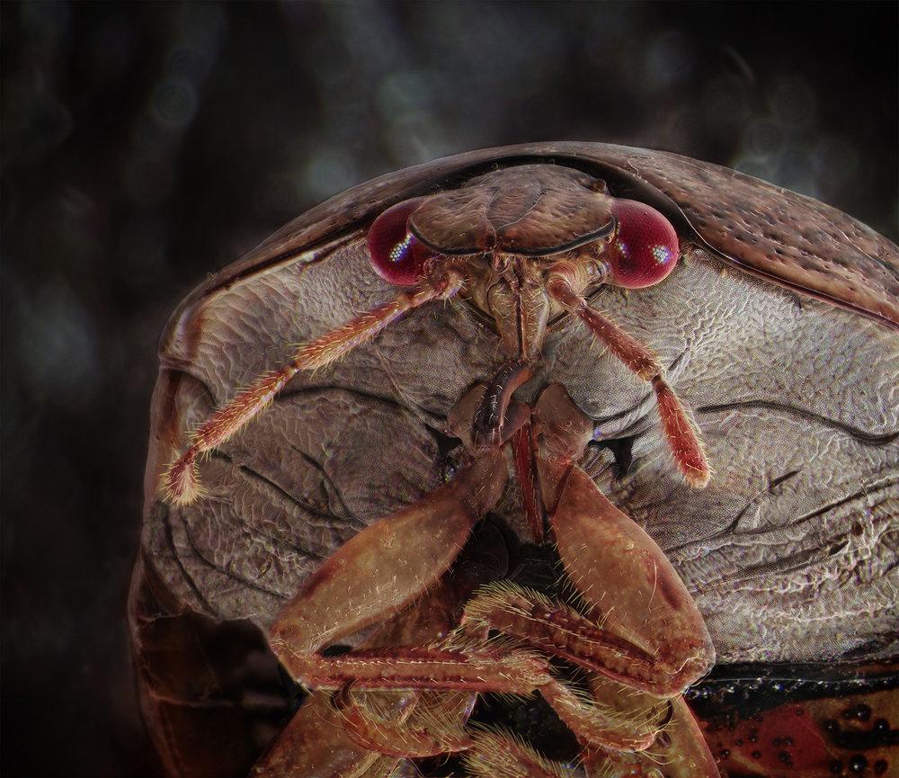 Kudzu Bug.jpg