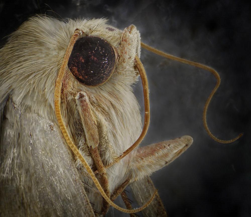 Owlet Moth.jpg
