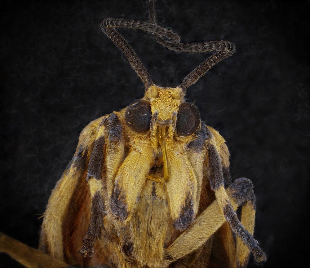 Scarlet Winged Lichen Moth.jpg