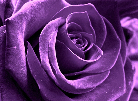 plum rose (2).jpg
