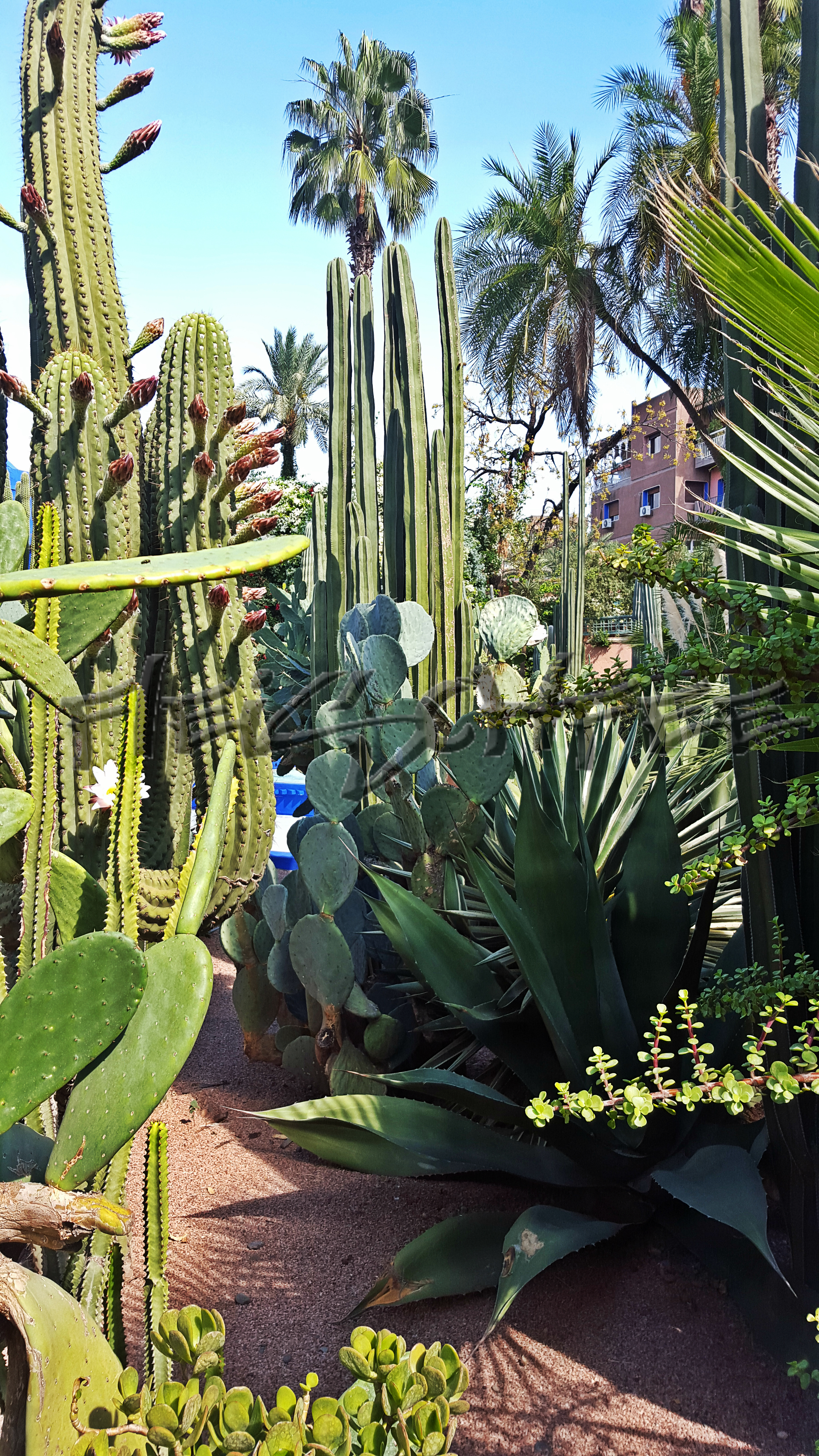 jardin-majorelle-kaktuspalme
