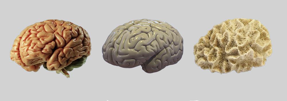 hjerne koral 3d.jpg