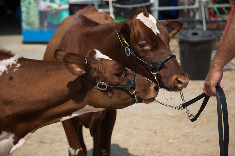 union-fair-cows-maine.jpg