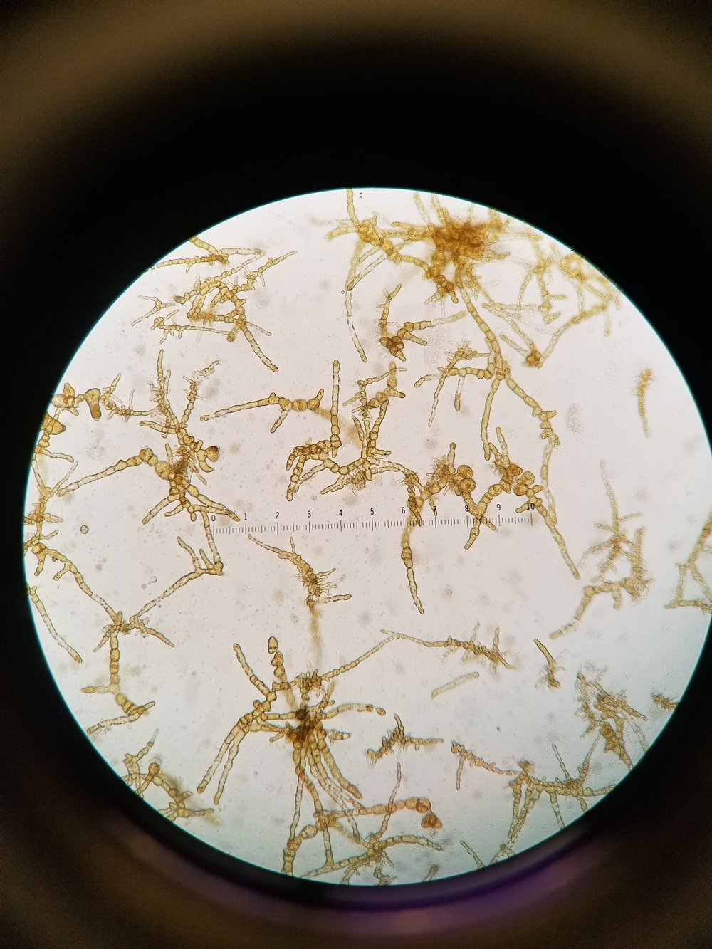 Kelp gametophytes, two weeks old