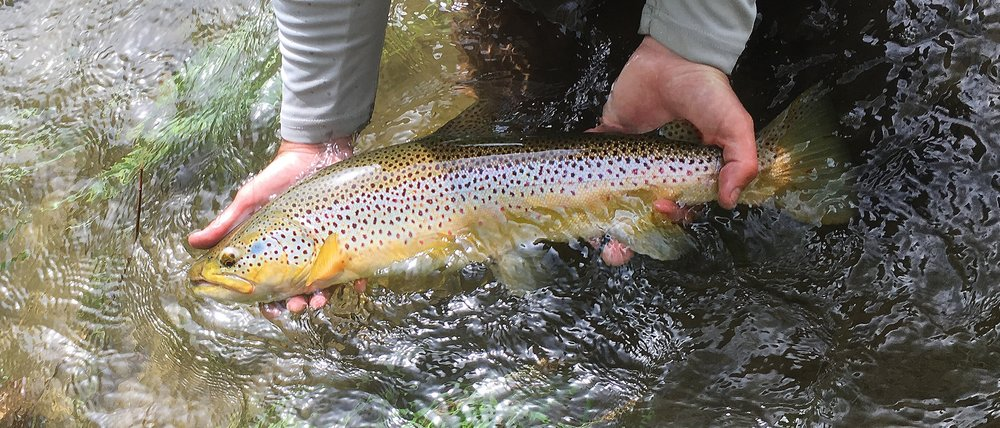 big brown trout Farmington river.jpg