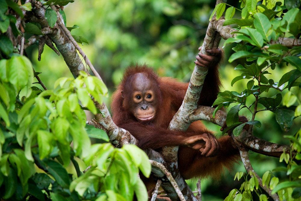 jejune orangutan .jpg