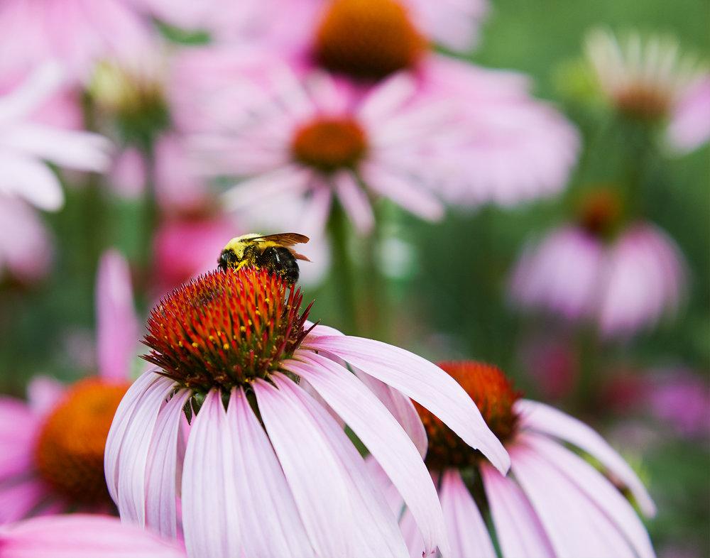 Hamilton RGB - Bumblebee