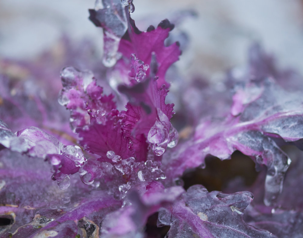 Ice Covered Cabbage