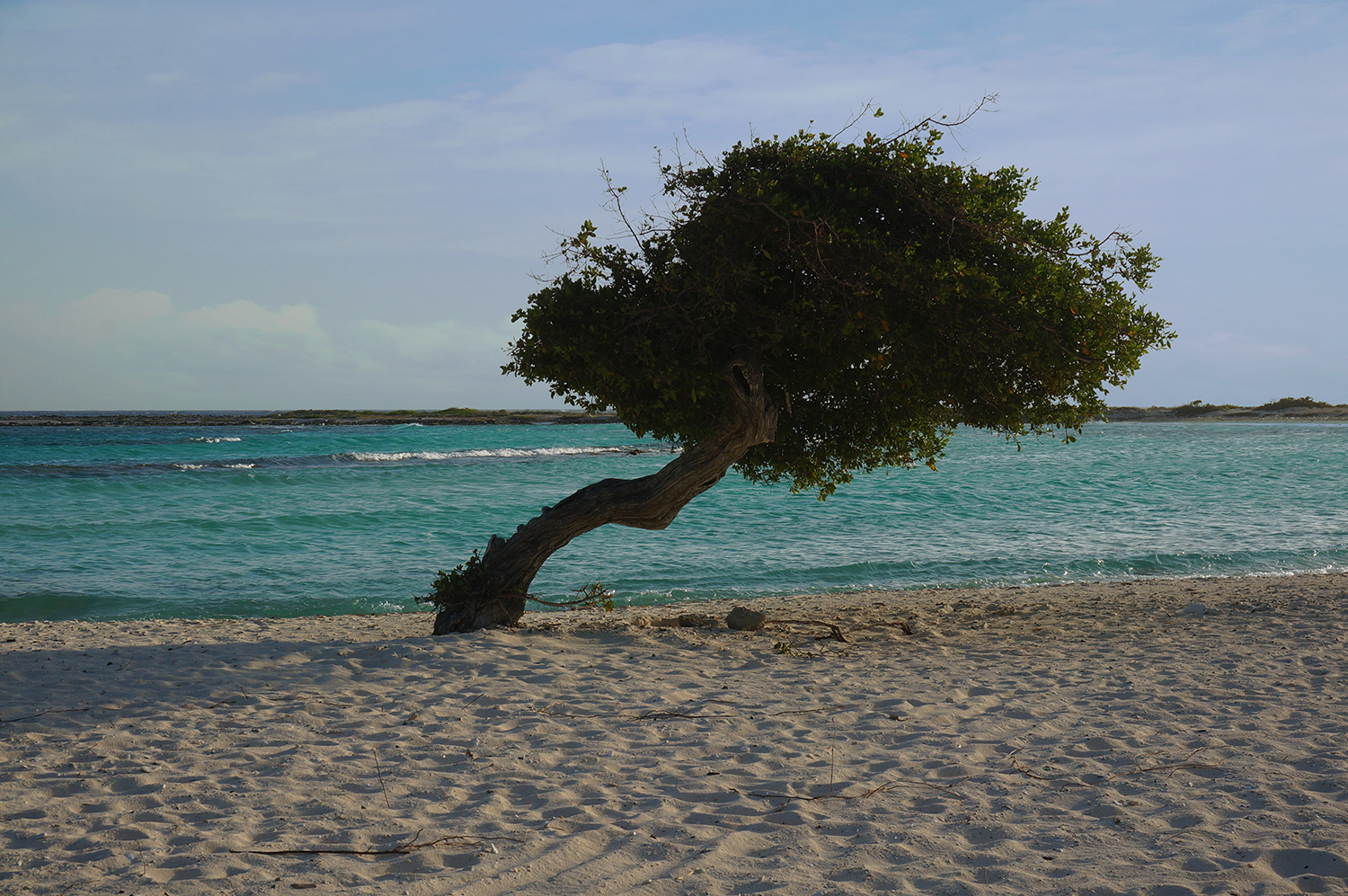 Divi tree, typical of Aruba