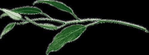Eucalyptushorizontal.png