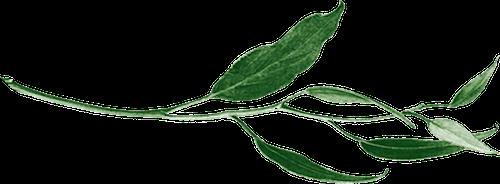Eucalyptushorizontalflip.png